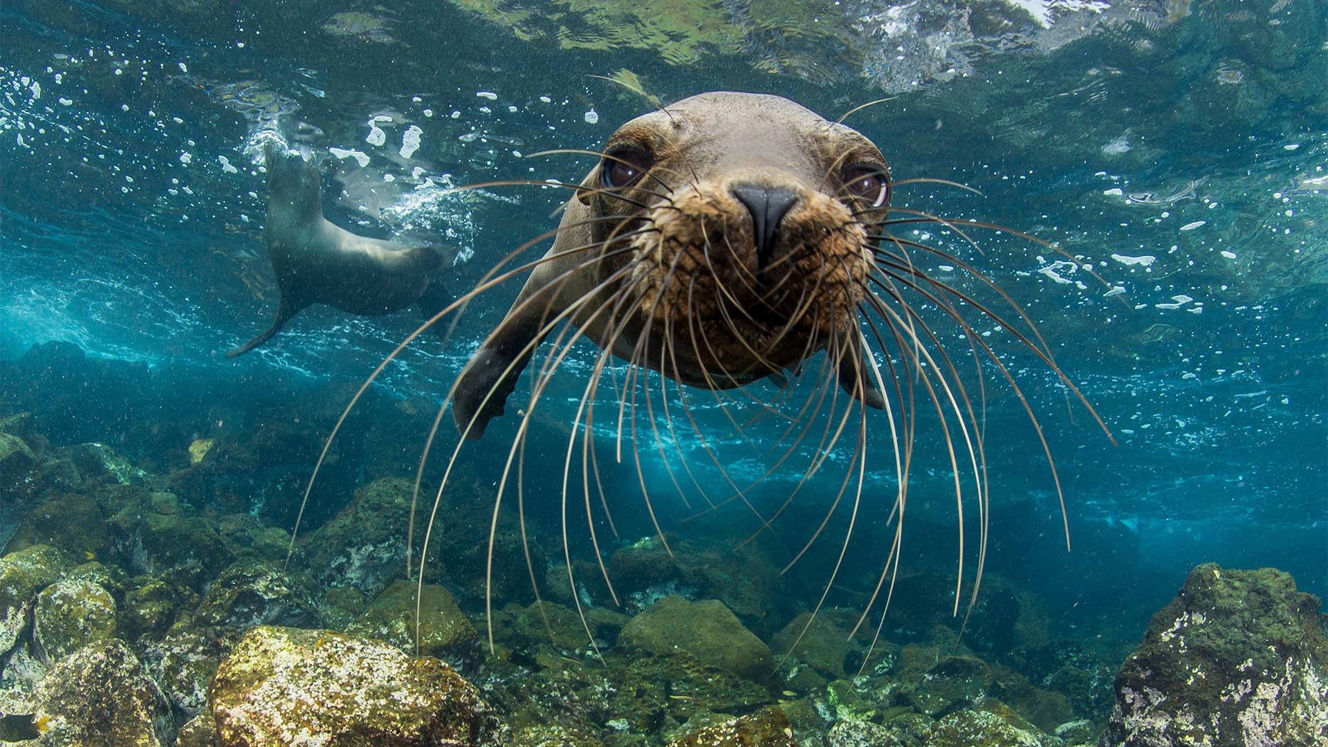 A young Galapagos sea lion approaches Enric Sala's camera curiousy off Santa Cruz Island. (Photo credit: Enric Sala)